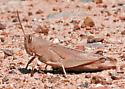 Mischievous Bird Grasshopper - Schistocerca damnifica - female