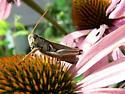 grasshopper i say ! - Melanoplus bivittatus - male