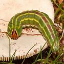 Lapara coniferarum for November - Lapara coniferarum