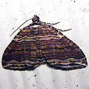 Many-lined Carpet - Hodges#7330 - Anticlea multiferata