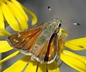 Hesperia colorado - female