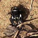 B&W Jumping Spider - Phidippus audax