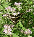 Papilio cresphontes - female