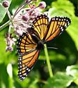 Butterfly - Limenitis archippus