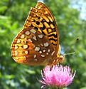 Fritillary #2 - Speyeria cybele - male