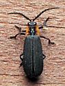 Beetle - Plateros