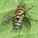Colorful Fly - male