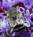 Large bee in Santa Cruz, California - Anthophora urbana - female