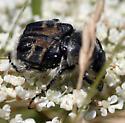 Trichiotinus affinis? - Trichiotinus assimilis