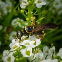 Thynnid Wasp (Myzinum sp) ID please? - Myzinum