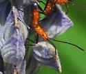 milkweed assasin bug