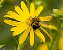 Bombus affinis  - Bombus affinis - female