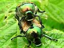 Japanese Beetles mating - Popillia japonica - male - female