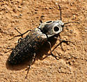Unknown insect - Alaus oculatus
