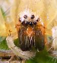Spider ID - Hibana gracilis