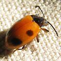 Small Ladybug - Endomychus biguttatus