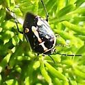 Mating bugs,  what is it? - Bagrada hilaris - male - female