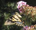 Mystery Swallowtail - Papilio rutulus - female