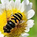 Eristalis transversa - Transverse Flower Fly - Eristalis transversa - female