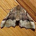 Which pero moth? - Pero ancetaria