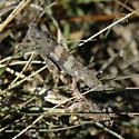 grasshoppers mating, dark gray, fairly large - Trimerotropis pallidipennis - male - female