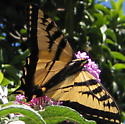 Western Tiger Swallowtail - Papilio rutulus - male