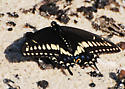 Black Swallowtail? - Papilio polyxenes