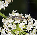 Another snakefly from San Bruno Mountain - Agulla - female