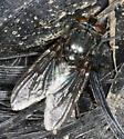 Fly - Cynomya cadaverina - female
