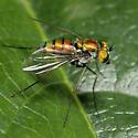 Longlegged Fly 9467 - Condylostylus - female