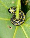 sawfly larva - Diprion similis