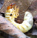 Insect emerging from grub