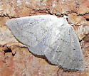 Gray Spring Moth - Lomographa glomeraria - female