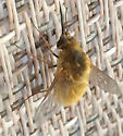 unknown bee - Systoechus