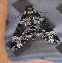 Giant Sphinx Moth possibly. - Manduca rustica