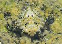 It dives! It swims! It crawls on land! It hops! It even runs super-fast across the top of the water. - Gelastocoris oculatus