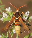 Paranthrene robiniae