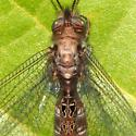 Owlfly ID Request - Ululodes macleayanus