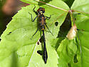 Racket-tailed Emerald - Dorocordulia libera - male