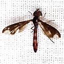 Flower Fly - Ocyptamus fuscipennis