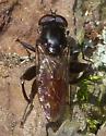 Black Legs - Chalcosyrphus piger