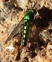 Condylostylus longicornis? - Condylostylus longicornis - male