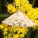 moth - Schinia acutilinea