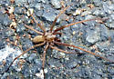 Large brown spider, Giant House Spider I think. - Eratigena atrica