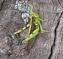 Big Green Grasshopper - Need ID - Schistocerca obscura - female
