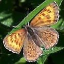 Butterfly - Lycaena mariposa