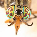 deer fly - Chrysops striatus - female