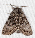 9193, Raphia frater, The Brother - Raphia frater - male