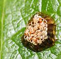Egg mass hatched on Magnolia leaf-I did have a good crop of scale insects this year on the Magnolia
