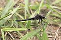 Dragonfly - Leucorrhinia intacta